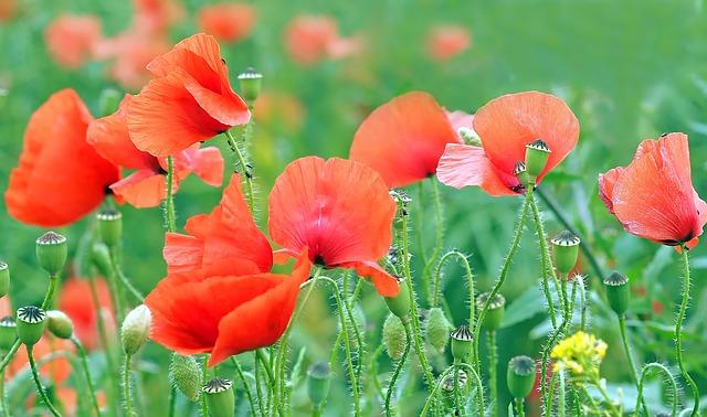 Wiese mit roten Blumen